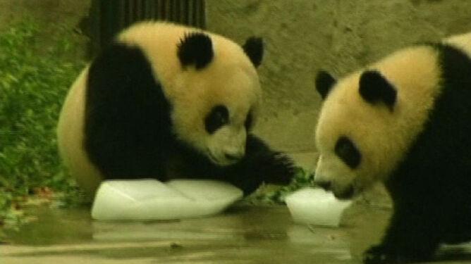 Pandy wielkie cierpią w ukropie