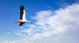 Bociany białe (fot.: Shutterstock)