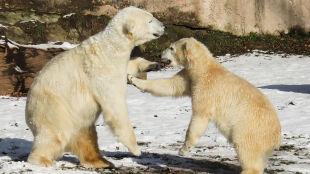 """Gonią ludzi, wchodzą do domów. """"Nigdy nie widziałem takiej inwazji niedźwiedzi"""""""