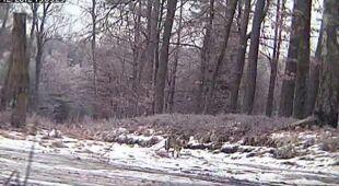 Wilk w podolsztyńskim lesie (Lasy Państwowe)